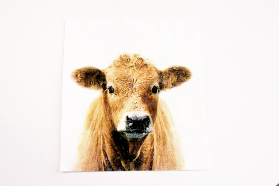 Cow Photo Transfer Image